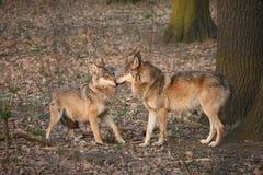 Wölfe Stockbilder