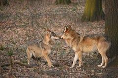 Wölfe Stockbild