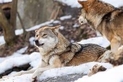 2 Wölfe im Schnee stockfoto