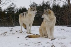 Wölfe im Winter Stockbild