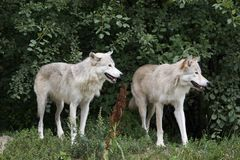 Wölfe am Sommer Stockbild