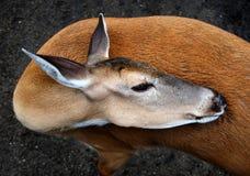 Würdevolle Whitetail-Rotwild stockfotos