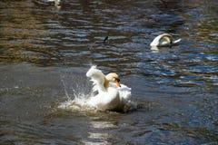 Würdevoller Höckerschwan auf der Wasseroberfläche Stockfotos