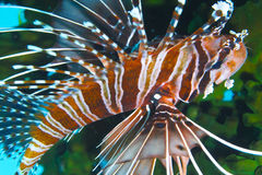 Würdevoller Lionfish weg von der Feldgeistlichen Burgos, Leyte, Philippinen Stockbild