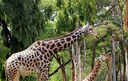 Würdevoller und leichter Erwachsener u. junge Giraffe Stockfoto