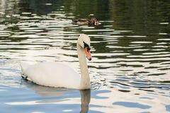 Würdevoller weißer Schwan Schöner Vogel im Park Großer Höckerschwan mit zwei kleinen Enten im Hintergrund Kopieren Sie Platz Stockfotografie