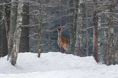 Würdevolles erwachsene Frau-Rotwild auf einem Schnee-Hügel Europäische Landschaft der wild lebenden Tiere mit Rotwild Cervus Elap lizenzfreie stockfotos