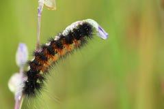 Würmer klettern auf Niederlassungen, um Blumen zu essen stockfoto