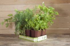Würzige Topfpflanzen zu Hause gewachsen lizenzfreie stockbilder