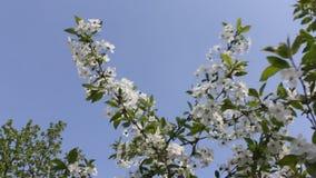 Würzt Besonderen Blühende Kirschen und Himmel stock video
