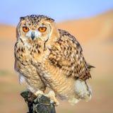 Wüste Eagle Owl Lizenzfreie Stockfotografie