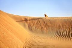 Wüste Eagle Owl Lizenzfreies Stockbild