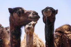 Wüste Hamada du Draa Marokko Stockbild