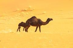 Wüste mit einigen Kamelen lizenzfreie stockbilder