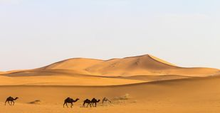 Wüste mit einigen Kamelen stockfoto