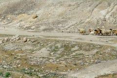 Wüste mit Schafen stockfotografie