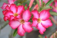 Wüste Rose lizenzfreies stockbild