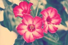 Wüste Rose Stockbild