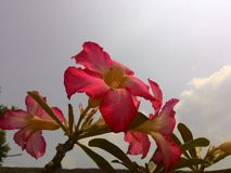 Wüste Rose Lizenzfreies Stockfoto