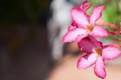 Wüste Rose Stockfotos