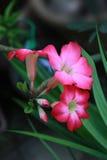 Wüste Rose Stockbilder