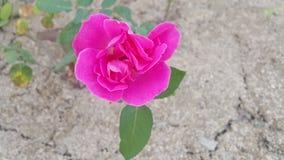 Wüste Rose Lizenzfreie Stockfotos