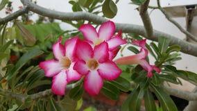 Wüste Rose Adenium obesum Adenium Lizenzfreie Stockfotos