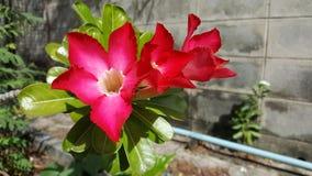 Wüste Rose Adenium obesum Adenium Lizenzfreie Stockfotografie