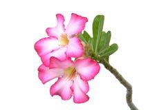 Wüste Rose Flower auf weißem Boden Lizenzfreies Stockbild