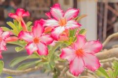 Wüste Rose Flowers Lizenzfreies Stockfoto