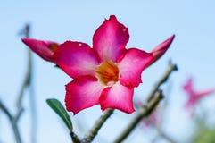 Wüste Rose Flowers, Impala-Lilie Lizenzfreie Stockfotografie