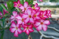 Wüste Rose Flowers, Impala-Lilie Lizenzfreies Stockbild