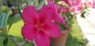 Wüste Rose Pink stockbild