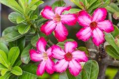 Wüste Rose , Rosen-Blume vom tropischen Klima Stockfotografie