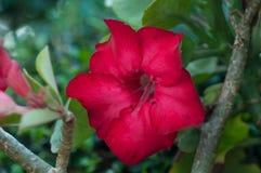 Wüste roseim, pala Lilienblume Lizenzfreie Stockfotografie