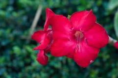 Wüste roseim, pala Lilienblume Lizenzfreie Stockbilder