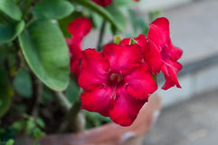 Wüste roseim, pala Lilienblume Stockfotos