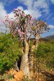 Wüste stieg - Adenium obesum Stockfotografie