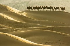 Wüste und Kamele Stockbilder