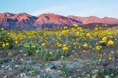 Wüste Wildflowers Stockfotografie