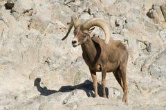 Wüstebighorn-Schafe Stockbilder