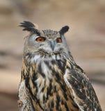 Wüsten-Adler-Eule Stockbild