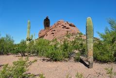Wüsten-Arizona-Geier, der auf Felseneinfassung bis zum sonnigem Tag des Kaktus sitzt lizenzfreie stockfotos