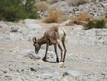 Wüsten-Bighorn-Schafe Stockfotos