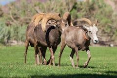 Wüsten-Bighorn-Schafe brunftig Lizenzfreies Stockfoto