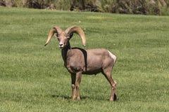 Wüsten-Bighorn-Schafe Ram Lizenzfreie Stockfotos