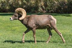 Wüsten-Bighorn-Schafe Ram Lizenzfreies Stockbild