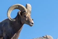 Wüsten-Bighorn-Schafe Ram Close Up Portrait stockbilder