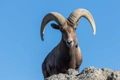 Wüsten-Bighorn-Schafe Ram Head On stockfotos
