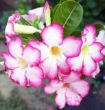 Wüsten-Blume, Adenium obesum Lizenzfreie Stockfotografie